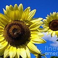 Sunflowers Against A Blue Sky by Deborah Fay