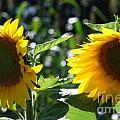 Sunflowers by Manda Renee