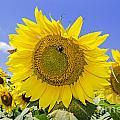 Sunflowers And Blue Sky by Paul Mashburn
