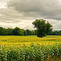 Sunflowers And The Tree by Nancy De Flon
