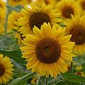 Sunflowers At The Farm by Denyse Duhaime