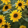 Sunflowers Bloom by Vishwanath Bhat