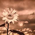 Sunflowers by Bob Orsillo