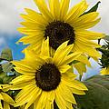 Sunflowers by Chuck De La Rosa