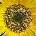 Sunflower's Cluster by Rosita Larsson