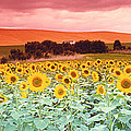 Sunflowers, Corbada, Spain by Panoramic Images