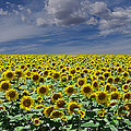 Sunflowers Forever by Ernie Echols