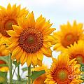 Sunflowers by Gayle Miller