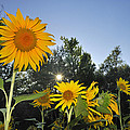 Sunflowers by Guido Montanes Castillo