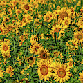 Sunflowers Helianthus Annuus Growing by Panoramic Images