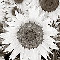 Sunflowers In Back And White by Marilyn Hunt
