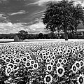 Sunflowers In Black And White by Debra and Dave Vanderlaan