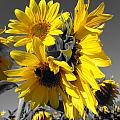 Yellow Selected Sunflowers by Maili Page