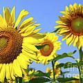 Sunflowers In Field by Elena Elisseeva