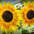 Sunflowers In Full Bloom by Dora Sofia Caputo Photographic Design and Fine Art