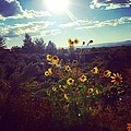 Sunflowers In Sun Light by LeLa Becker