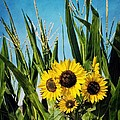 Sunflowers In The Corn Field by Peggy Hughes