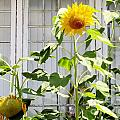 Sunflowers In The Window by Don Baker