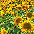 Sunflowers by Jaroslav Frank