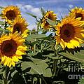 Sunflowers by Kerri Mortenson