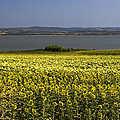 Sunflowers Near The Sea by Radoslav Nedelchev