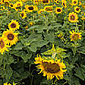 Sunflowers Panorama by Bill Cannon