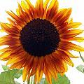 Sunflowers Petals Of Light by Deborah Fay