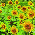 Sunflowers by Safran Fine Art