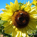 Sunflowers With Bees Harvesting Pollen by Deborah Fay