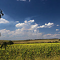 Sunflowers With Cloudy Blue Sky by Radoslav Nedelchev