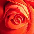 Sunkissed Orange Rose 11 by Tara  Shalton