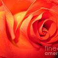 Sunkissed Orange Rose 6 by Tara  Shalton