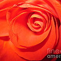 Sunkissed Orange Rose 9 by Tara  Shalton