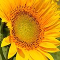 Sunkissed Sunflower by Regina Geoghan