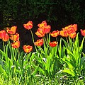 Sunkissed Tulip Garden by Sonali Gangane