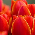Sunkissed Tulips by Jordan Blackstone