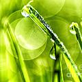 Sunlight Dew On Grass by Thomas R Fletcher
