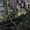 Sunlight Filtering Through An Old-growth Forest by Scott Lenhart