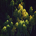 Sunlight Highlights Aspen Trees by Melissa Farlow