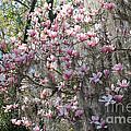 Sunlight On Saucer Magnolias by Carol Groenen