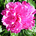 Sunlight On The Peony by Barbara Griffin