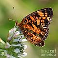 Sunlight Through Butterfly Wings by Carol Groenen