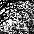 Sunlight Through Spanish Oak Tree - Black And White by Carol Groenen