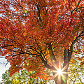 Sunlight Through The Maple Tree by Pierre Leclerc Photography