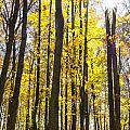Sunburst Through Trees by Gej Jones
