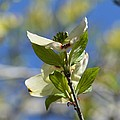 Sunlit Dogwood Blossoms by Maria Urso