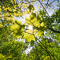 Sunlit Leaves by Roy Pedersen