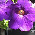 Sunlit Petunias by Ray Konopaske
