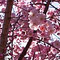 Sunlit Cherry Blossoms