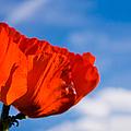 Sunlit Poppy by Adam Romanowicz